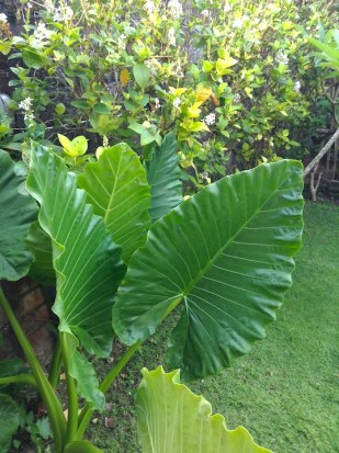The biggest leaves in my garden