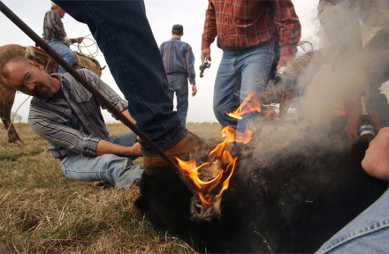 Mike Russman of the Green Valley Ranch, left, holds a calf's hind legs as a branding iron fresh from the fire is pressed against the calf Tuesday morning, April 15, 2003 south of Ewing.