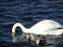 Swan with babies Seen in Karlskrona, Sweden