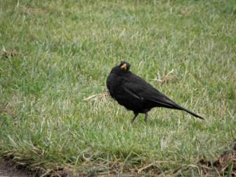 Common blackbird Seen in Ystad, Sweden