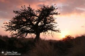 A wiliwili tree against the setting sun near Waikoloa