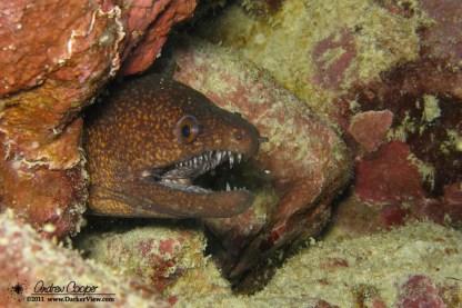 Yellowmargin moray (Gymnothorax flavimarginatus)