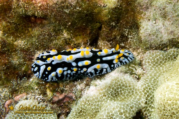 Fried-Egg nudibranch (Phyllidia varicosa) on the reef at Puako