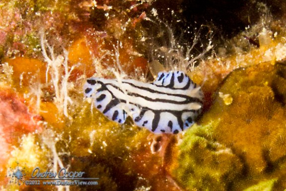 Sphinx Nudibranch