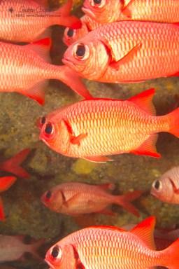 Brick Soldierfish