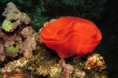 The eggs of a Spanish Dancer nudibranch (Hexabranchus sanguineus) at Three Tables, Oahu