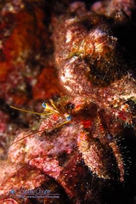 Bloody Hermit Crab