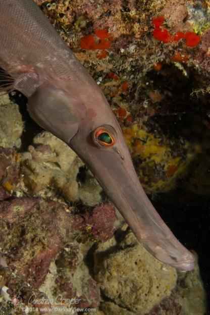 Trumpetfish Face