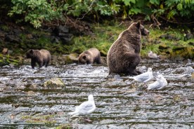 Grizzly Fishing at Pavlof Harbor