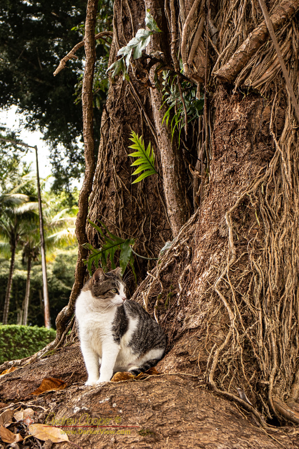 A stray cat hanging out at the bast of one of Hilo's massive banyan trees