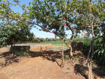 Tree on grape farm