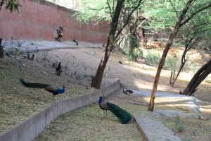 Peacocks, Jaipur Zoo