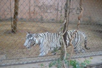 White tiger, Jaipur Zoo