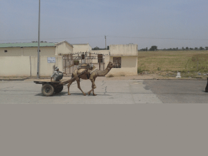 camel on highway