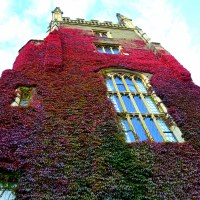 Autumn colours in Virginia creeper