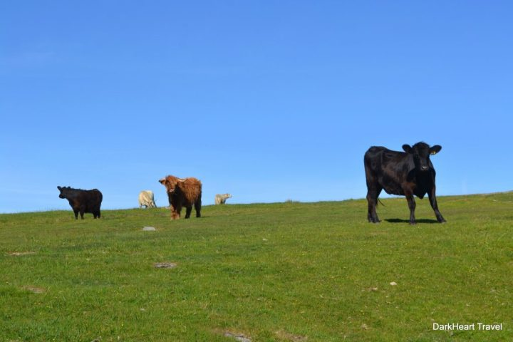 Cattle on Rough Tor