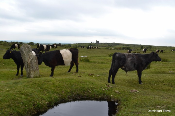 Belted Galloway cattle at the Hurlers