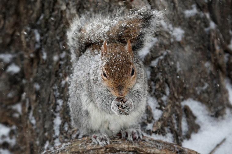 A squirrel stands in the snow on the National Mall January 21, 2014 in Washington, DC. A strong winter storm is bearing down on the East Coast between Virginia and Massachusetts and could dump four to eight inches of snow on the Washington area. (Photo by Chip Somodevilla/Getty Images)