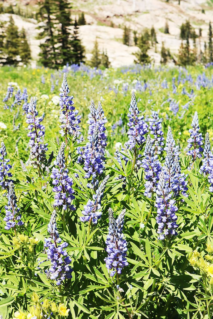 utah-wildflowers