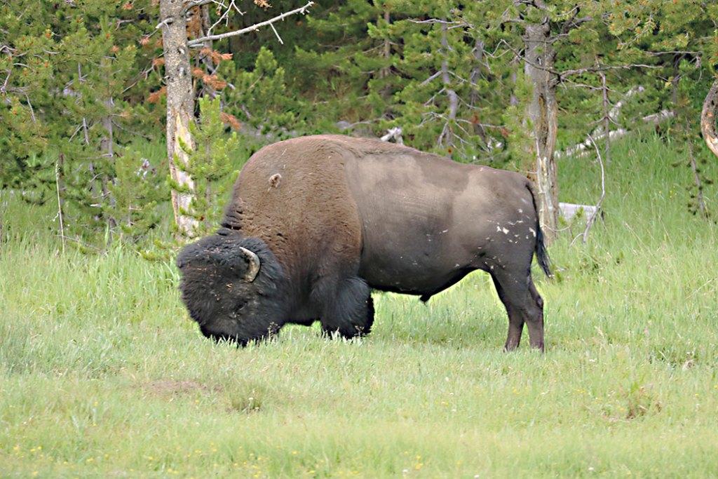 yellowstone-bison