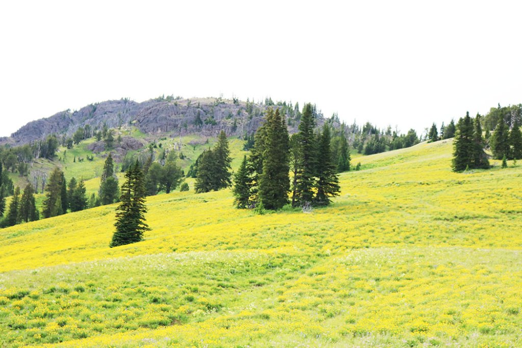 yellowstone-yellow-flower-field