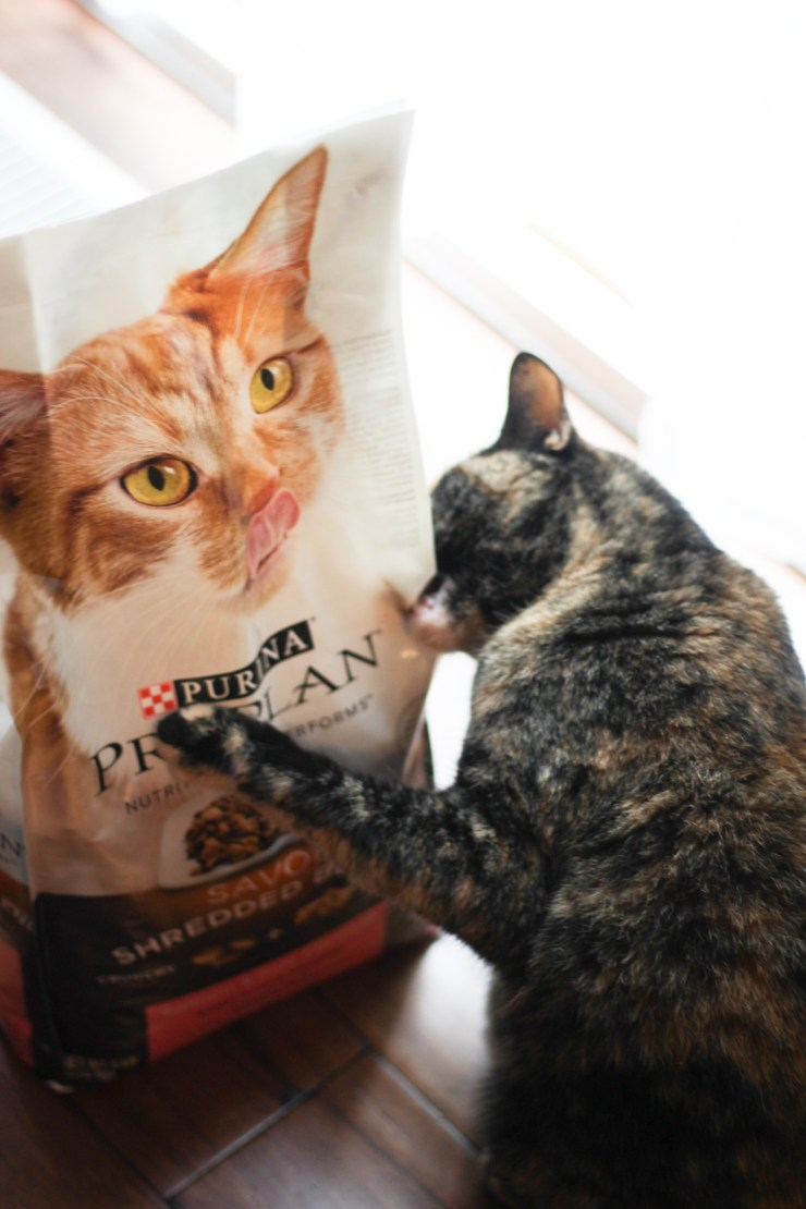 How To Let Your Human Know You're Hungry with Purina Pro Plan Shredded Cat Food #ad #PawsToSavor