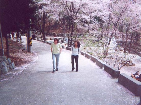Jinhae cherry blossoms
