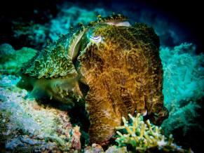 cuttlefish raja ampat