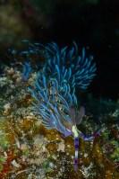 Nudibranch by Daroyen guide DM Diego Gonzalez