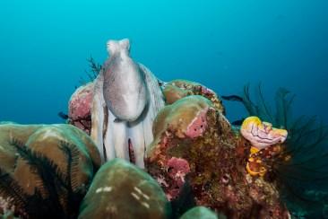 Mean looking octopus by Erika Antoniazzo