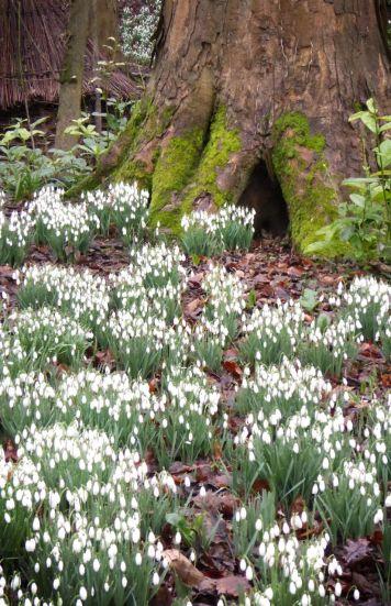 Snowdrops at Rococo Gardens, Painswick
