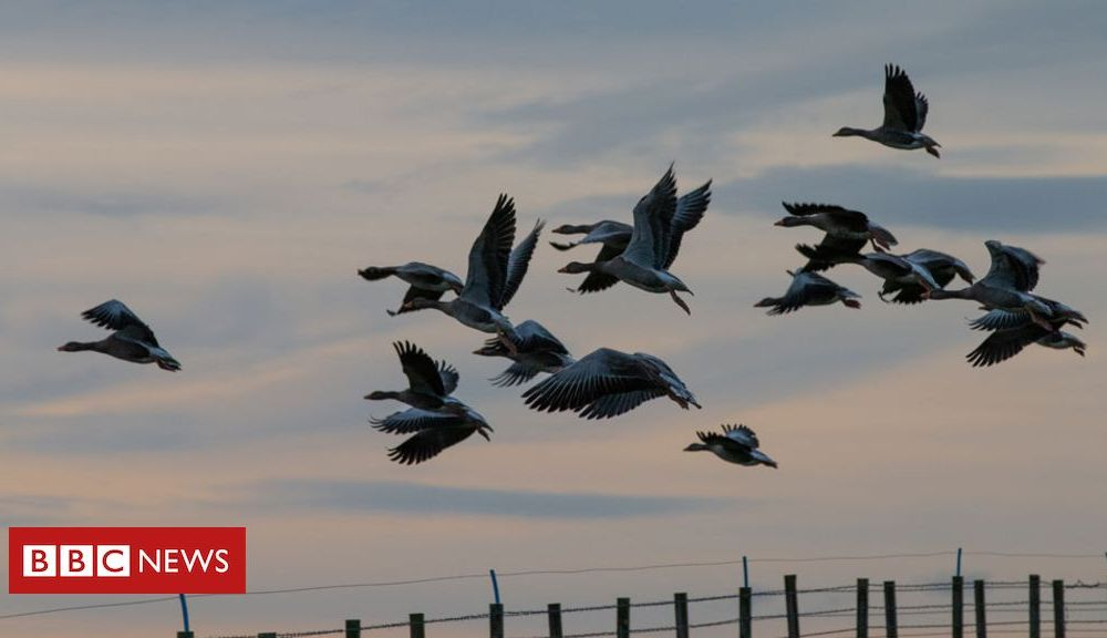 Sport Fighting a goose invasion with guns, knives and forks