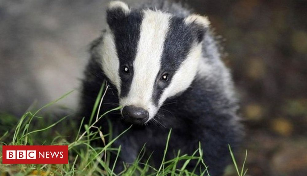 Government badger cull 'could double' this year