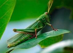 Locust is Halal