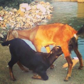 Goat feeds Goat