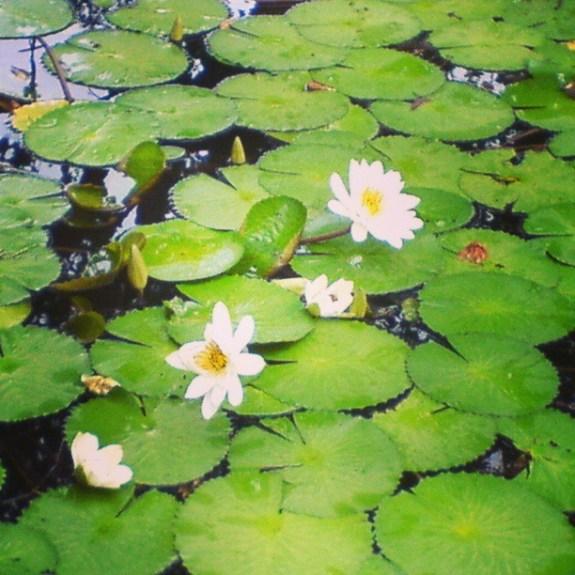 Lotus in Lonavla