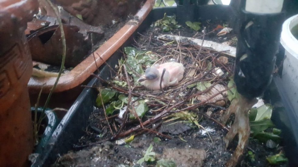 baby pigeons nesting on a balcony in Torquay