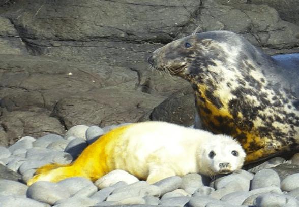 Seals cub with dye marking