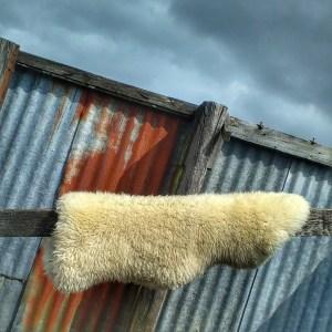 sheepskin on Dartmoor