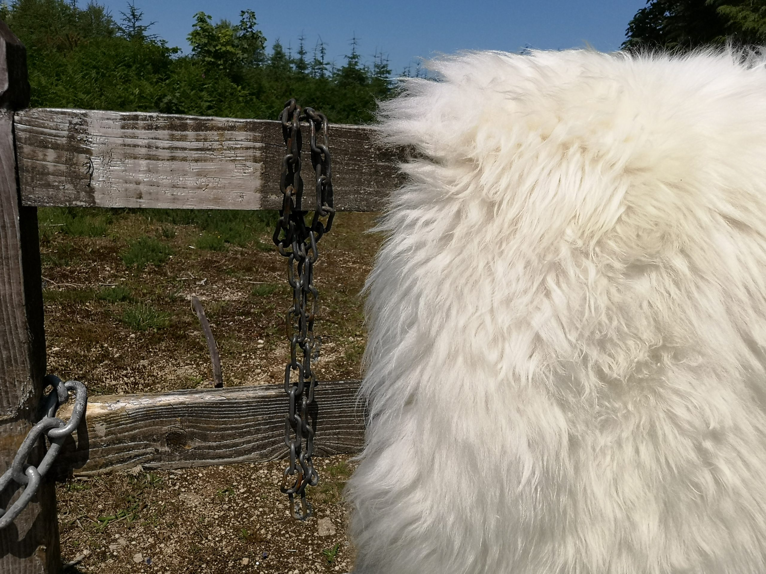 shetland sheepskin hung on a gate