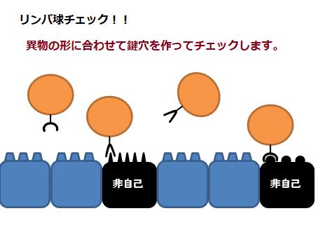 リンパ球チェックの図