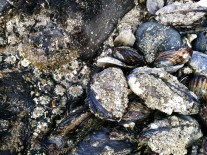 Mussels with barnacles