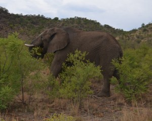 Wild elephant at Pilanesberg National Park, South Africa.