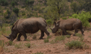 Baby follows mama rhino, just one of the incredible things witnessed on our family trip to South Africa.