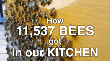 Family invites almost 12,000 bees to make a hive i their kitchen. It's behind glass so they can watch bees work.
