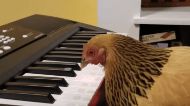 "Patriotic chicken plays ""America The Beautiful"" on a piano keyboard."