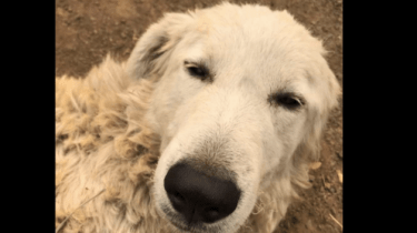 Odin the hero dog refused to evacuate the California wildfires. Instead, he stayed behind to save his herd of goats.