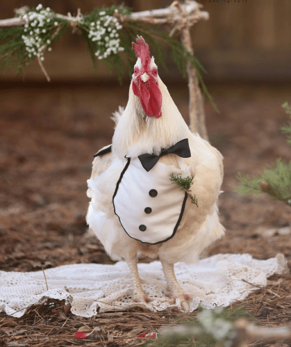 Mr. Mayflower all dressed up in his clucks-edo on his wedding day. Credit: Erin's Attic Photography.