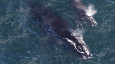 Endangered right whales mini baby boom off the coast of Cape Cod.