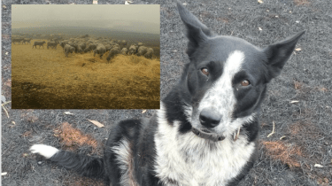 Patsy, the border collie, helped save an entire flock of sheep in the Australia bush fires.